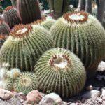 cactus-show-capel-manor-gardens