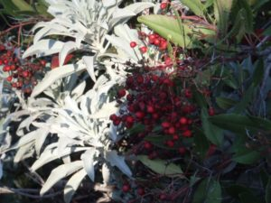 Winter sage, paired with manzanita berries. Love the contrast!