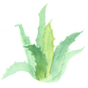 Green Aloe plant