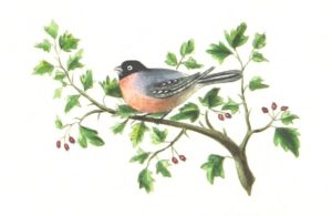 Super-precious squee-worthy drawing of a little robin on a holly bush. SO CUTE, EEEEE.